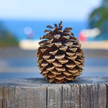 pinecone-1168741_640