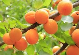 apricots-824626_640